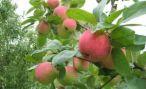 Началась закладка промышленного яблоневого сада в Калининградской области